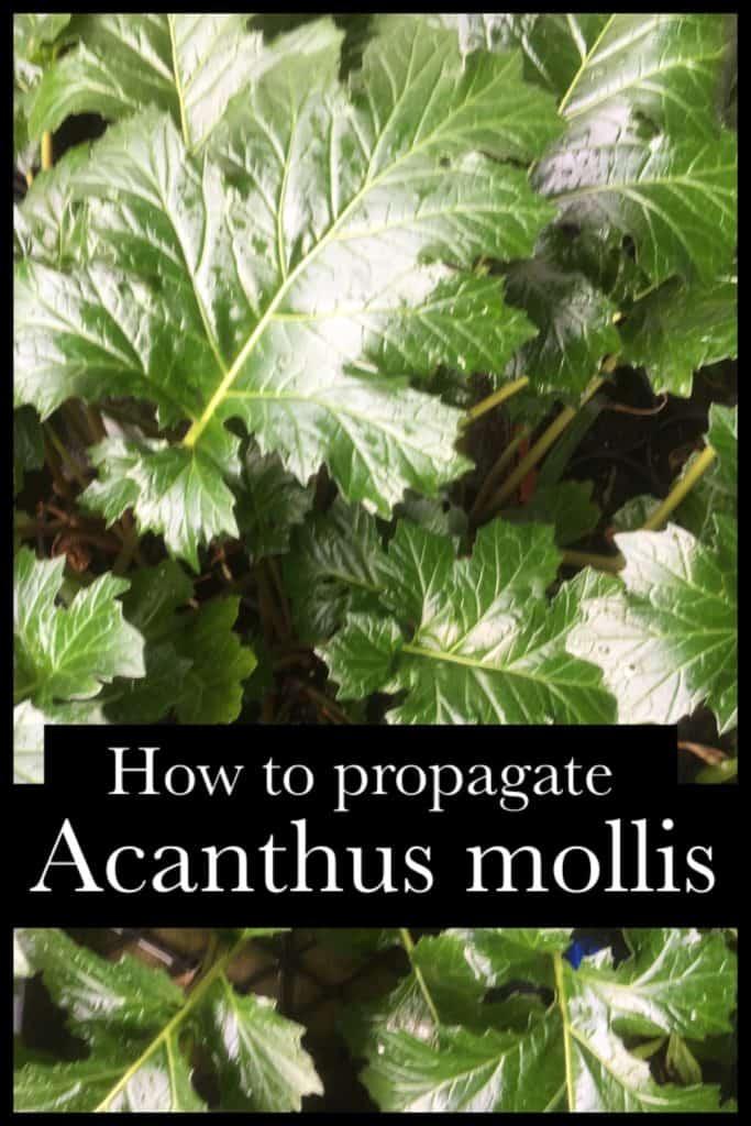 Propagate acanthus mollis- oyster plant