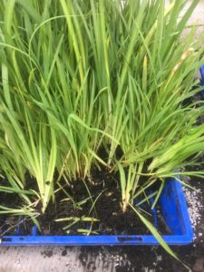 Dietes seedlings