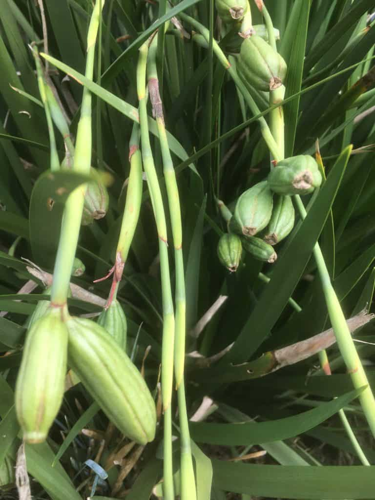 Dietes seed pods on the plant