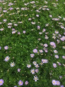 brachyscome-multifida-cut-leaf-daisy