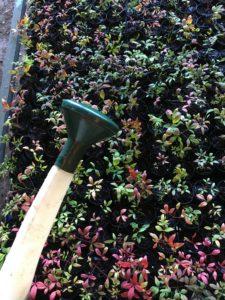 Freshly potted nandina nana cuttings