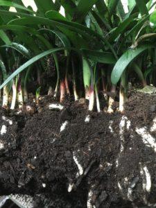Clivia seedlings
