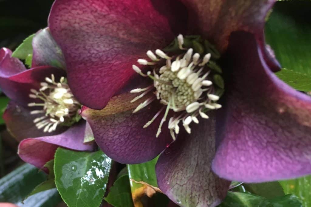 Hellebore-lentens rose-winter rose-christmas rose