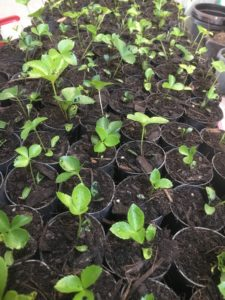 Potted hellebore seedlings