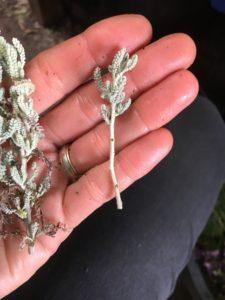 Cotton Lavender Cuttings