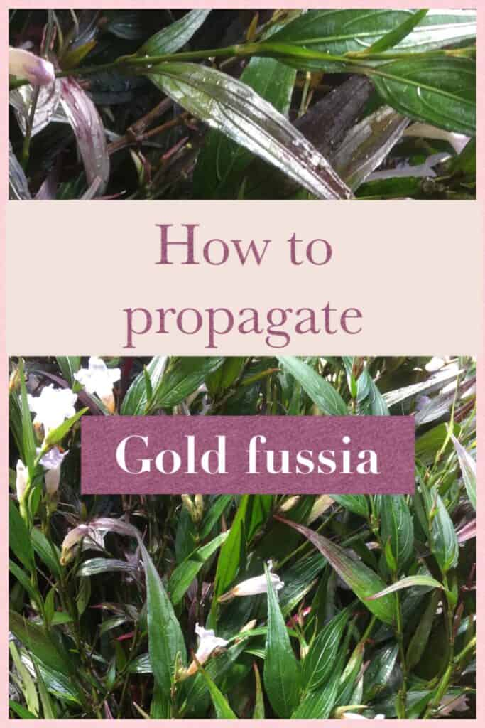 Gold Fussia Propagation