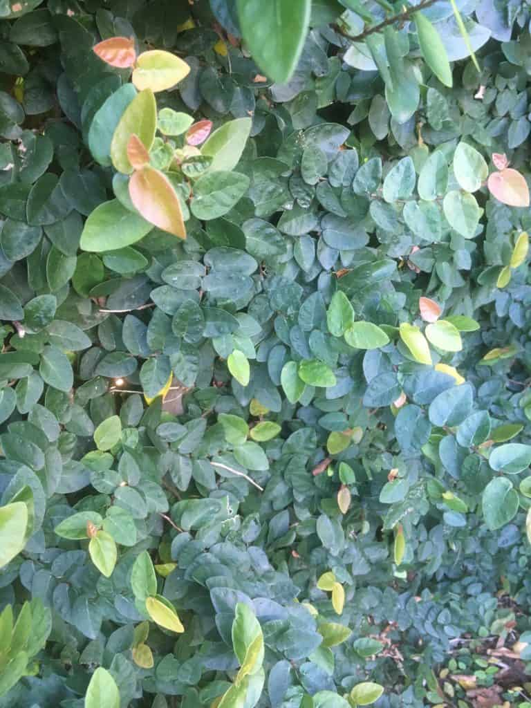 Ficus pumila-Climbing fig-Best palnts for privacy