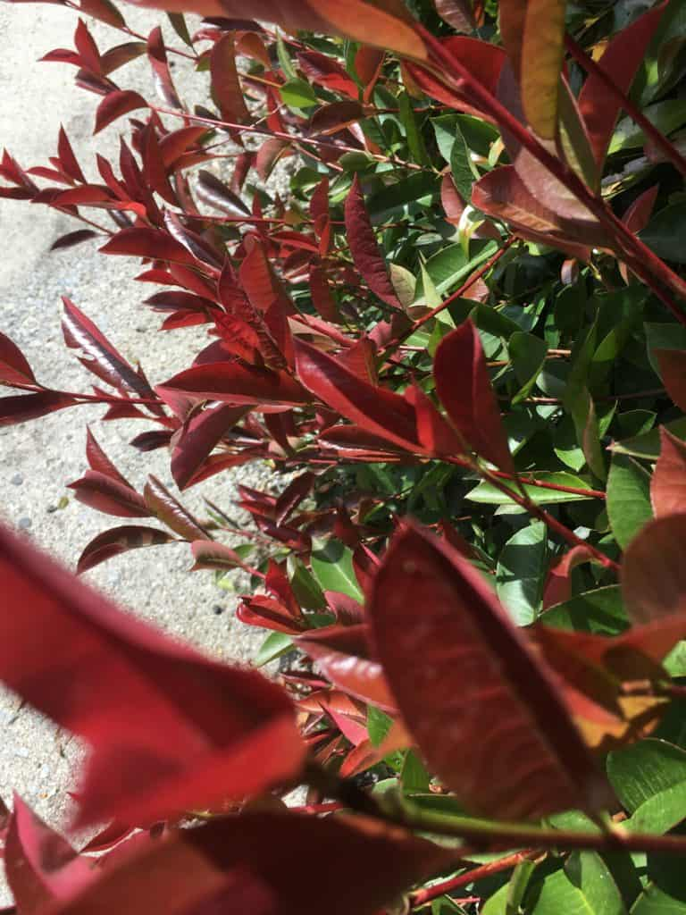 Best plants for privacy-Photinia