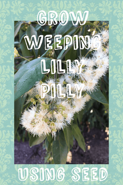 Growing weeping lilly pilly seeds