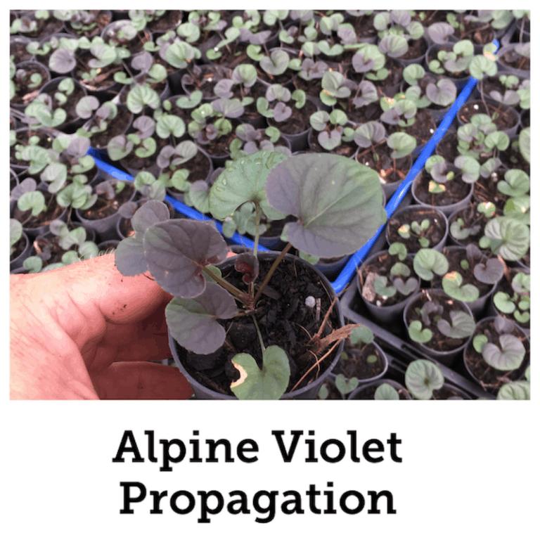 Propagate Alpine violet
