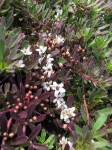 Myoporum purpurea