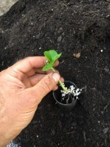Potting hydrangea cuttings