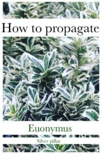 Propagate euonymus