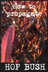 dodonaea viscosa propagation