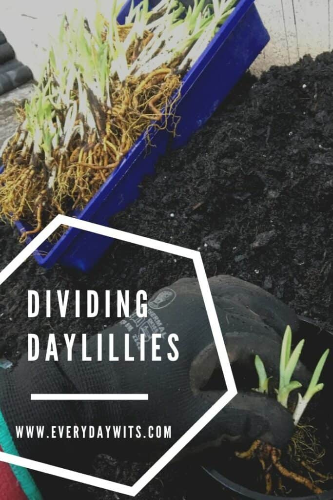Dividing daylilies-Stella de Oro