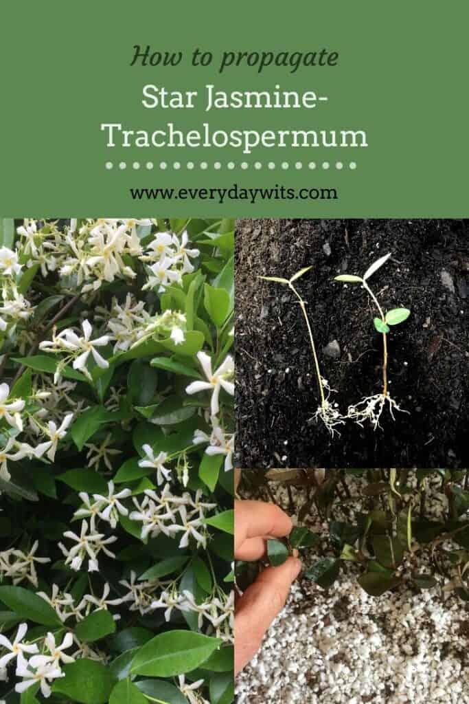 Propagating Star jasmine- Trachelopermum